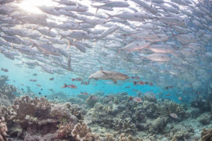 Reef_shark_beneath_a_school_of_jack_fish 4096